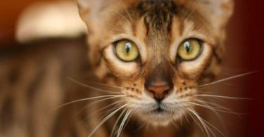 caractère chat bengal