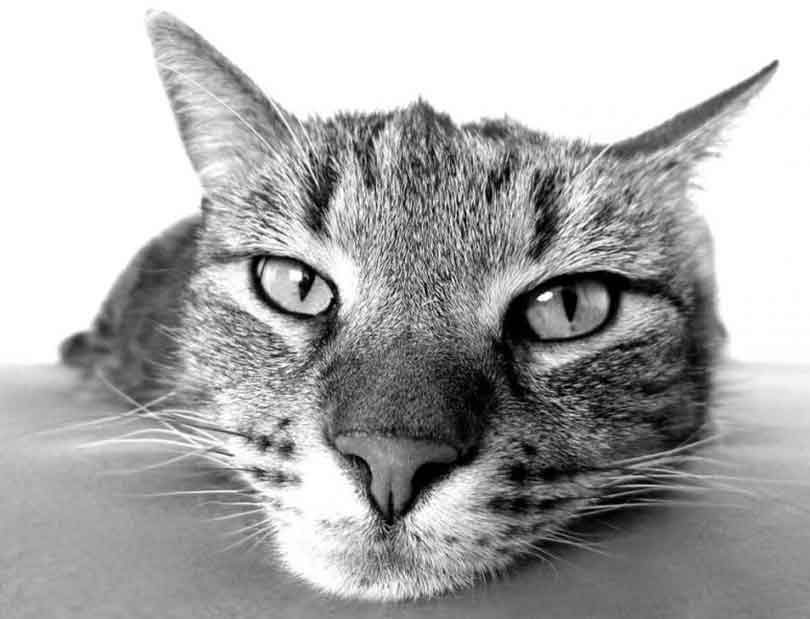 prende la température d'un chat