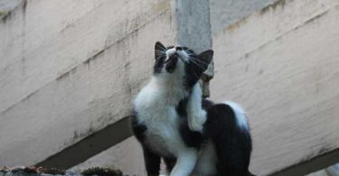 dermatite miliaire du chat