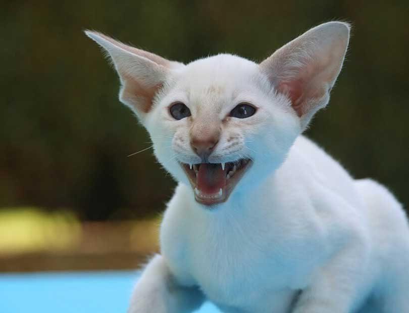 pourquoi les chats mordent
