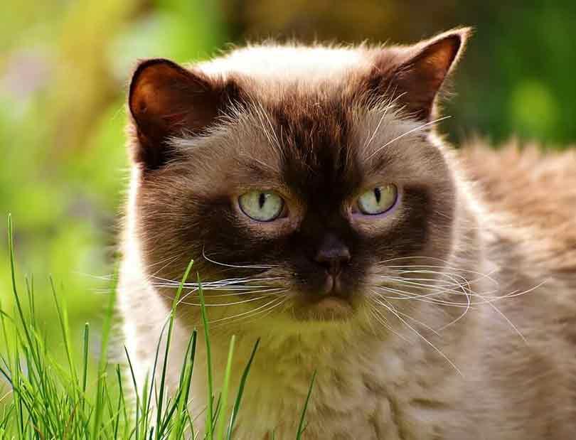 races de chats affectueux