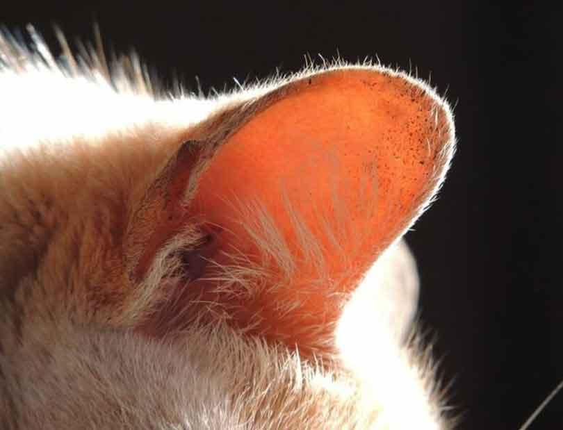 nettoyer les oreilles d'un chat