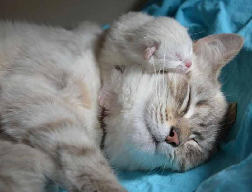 la période de reproduction du chat