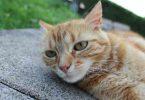 pelade chez le chat