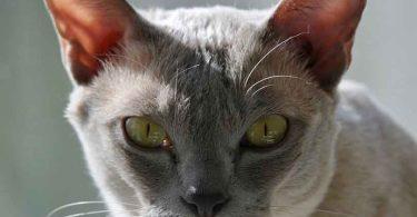la grippe du chat