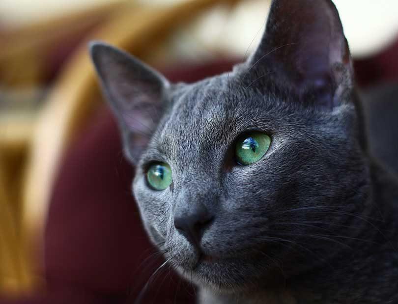 chat bleu russe