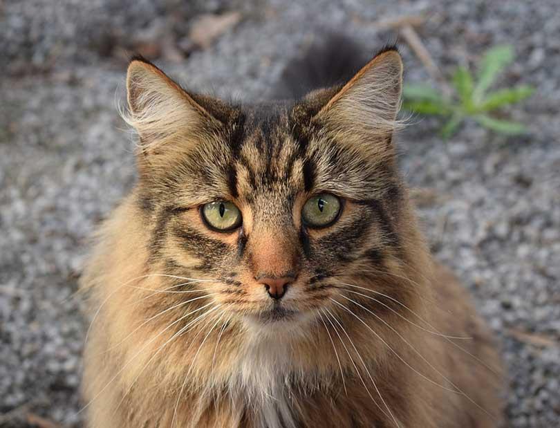 chat norvégien ou Norsk skogkatt