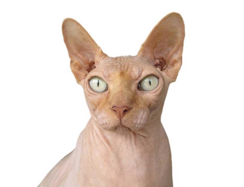 sphynx race de chat