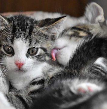 chat male ou chat femelle