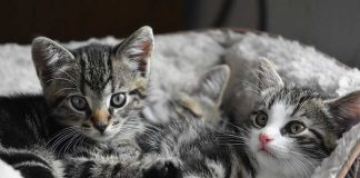 chat male ou femelle