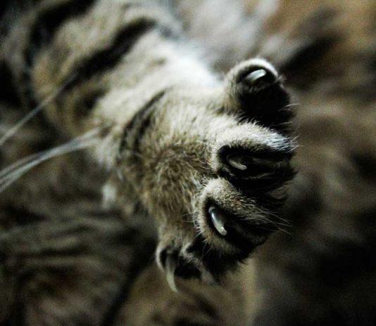 couper les griffes d'un chat