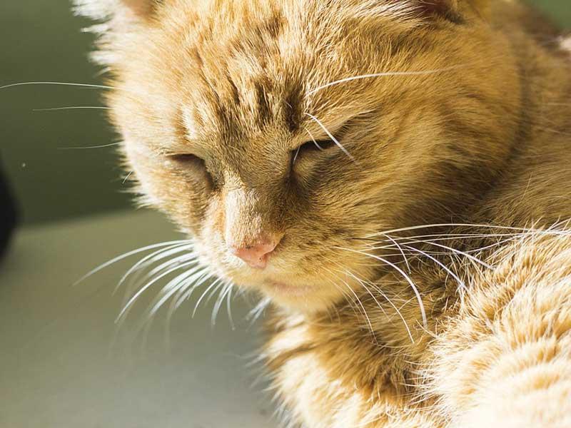 chat qui ronronne