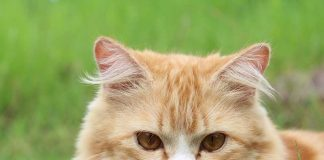 apprivoiser chat sauvage