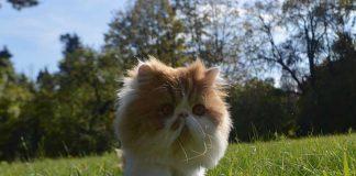 chat fugueur