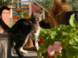 chat qui a peur du chien