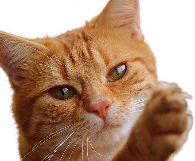 chat qui fait ses griffes