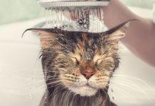 le chat n'aime pas l'eau