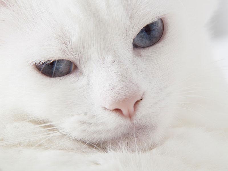 chat qui ne perd pas ses poils