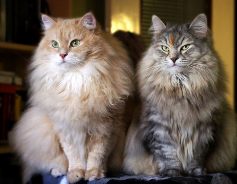 chat de sibérie