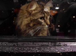chat malade en voiture