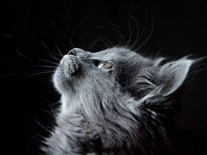 brosser son chat