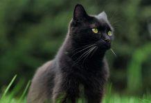 chat noir qui porte malheur
