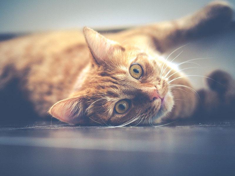 donner du paracétamol à un chat