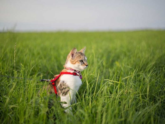 habituer son chat au harnais
