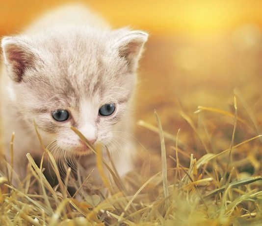 alimentation chaton non sevré