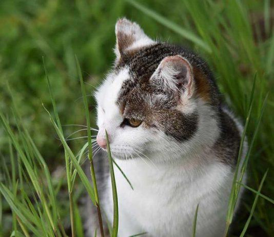 mon chat mange de l'herbe