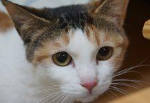 chat qui a peur du vétérinaire