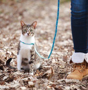 habituer son chat à la laisse