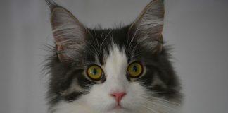 hyperthyroidie chez le chat