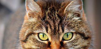 phéromones chat
